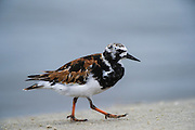 Ruddy Turnstone (Arenaria interpres) feeding on horseshoe crab eggs<br /> Little St Simon's Island, Barrier Islands, Georgia<br /> USA<br /> HABITAT &amp; RANGE: