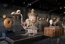 © Licensed to London News Pictures. 17/11/2016. Billingshurst, UK.  A rare dodo skeleton is displayed at Summers Place Auctions ahead of it's sale at their 'Evolution' Auction taking place on November 22, 2016.   Photo credit: Peter Macdiarmid/LNP