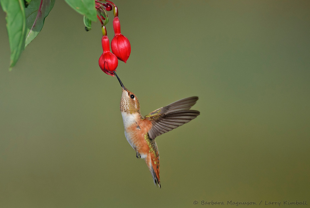 Rufous Hummingbird [Selasphorus rufus] female,  feeding on Fuschia flowers; Fremont County, Colorado