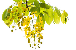 Cassia fistula, Golden Shower Tree #13