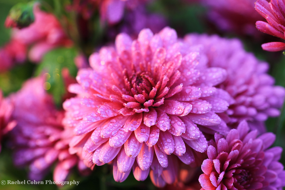 &quot;Delightful Purple Mums&quot;<br />