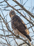 A Red-tailed hawk perches on a tree branch.