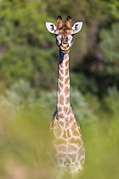 Giraffe peerring through the bushes, Gondwana Game Reserve, Western Province, South Africa