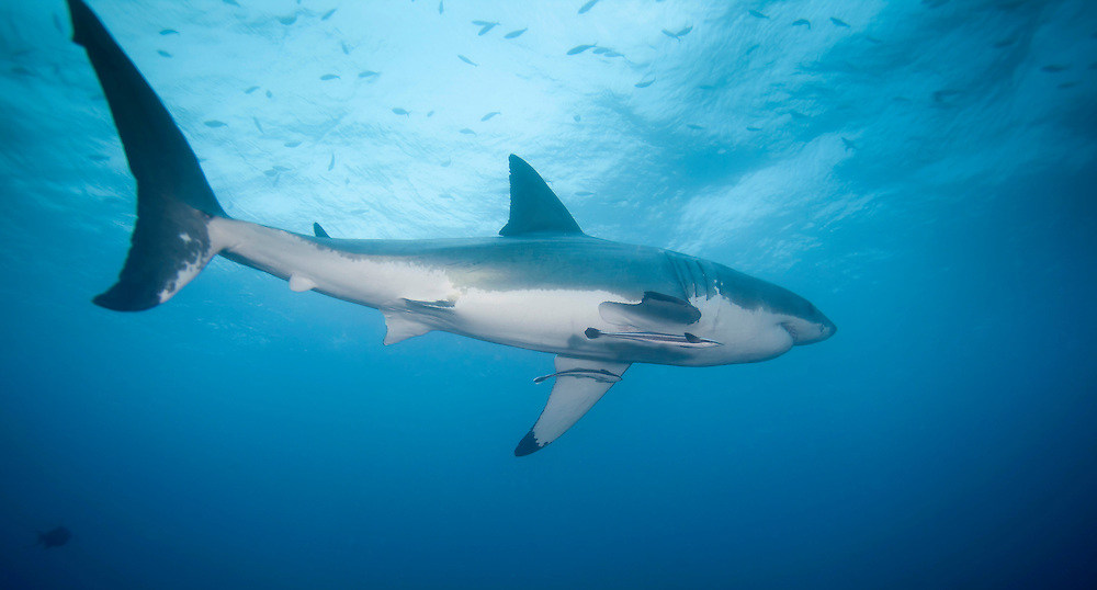 The great white shark, (Carcharodon carcharias), also known as the great white, white pointer, white shark, or white death, is a large lamniform shark found in coastal surface waters in all major oceans. It is known for its size, with the largest individuals known to have approached or exceeded 6 m (20 ft) in length, and 2,268 kg (5,000 lb) in weight. This shark reaches maturity at around 15 years of age and can have a life span of over 30 years.<br /> <br /> The great white shark is arguably the world's largest known extant macropredatory fish, and is one of the primary predators of marine mammals. It is also known to prey upon a variety of other marine animals, including fish and seabirds. It is the only known surviving species of its genus, Carcharodon, and is ranked first in a list of number of recorded attacks on humans. The IUCN treats the great white shark as vulnerable, while it is included in Appendix II of CITES.