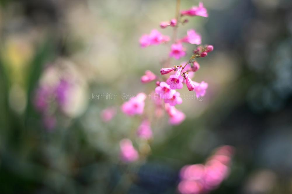 SUPERIOR, AZ - March 19: Detail view of pink panicle. (Photo by Jennifer Stewart)
