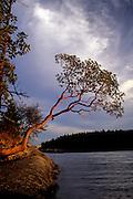 Madrone tree (Arbutus menziesii). Shaw Island, Washington.