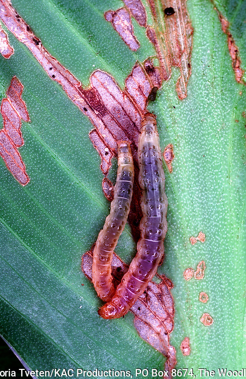 Geshna canalis,.Larvae
