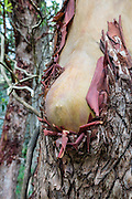 A naked, human-like breast shape grows naturally in the red and yellow bark of a Pacific Madrone or Madrona (Arbutus menziesii) tree, along the lovely Goose Rock Perimeter Trail, in Deception Pass State Park, on Whidbey Island, Washington state, USA.