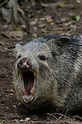 Collared peccary (Pecari tajacu)<br /> Belize,<br /> Central America<br /> Captive