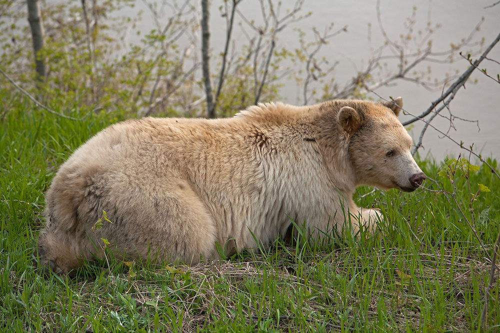 Kermode Bear laying down eating grasses in spring along Skeena River