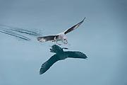 Northern Fulmar<br /> (Fulmarus glacialis)<br /> Spitsbergen<br /> Svalbard<br /> Norway<br /> Arctic Ocean
