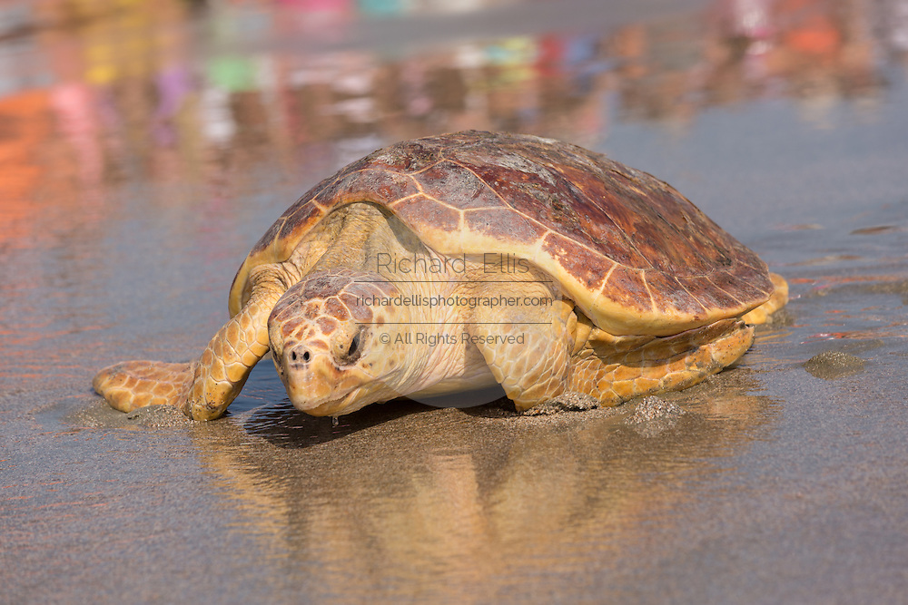 Mitchell, a 65-pound juvenile loggerhead sea turtle crawls back to the ocean during the release of rehabilitated sea turtles August 6, 2014 in Isle of Palms, South Carolina. The turtle was found entangled in a fishing line, malnourished and covered in barnacles and rehabilitated by the sea turtle hospital at the South Carolina Aquarium in Charleston.