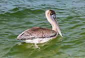 Pelicans, Gannets, Bobbies, Frigatebirds