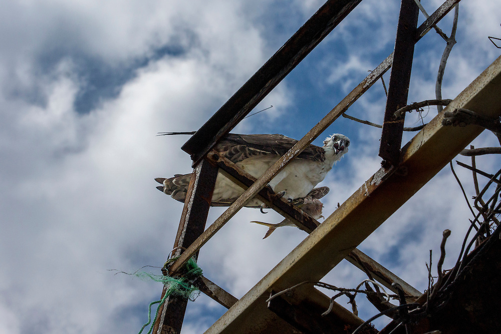 The osprey otherwise known as the sea hawk, river hawk, fish eagle or fish hawk is a fish eating bird of prey.  This large raptor is found on all continents with the exception of Antarctica.