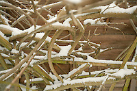 Close-up view of vines covered in snow