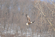 Photographer: Kyle Reynolds..Bird Species: Bald Eagle..Location: Chemung River, Elmira, NY..Date Taken: