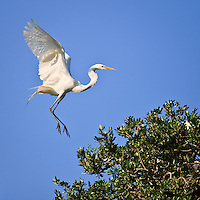 Great egret (Ardea alba) in flight coming in for a landing at the natural rookery at the St. Augustine Alligator Farm, Anastasia Island, St. Augustine, Florida.