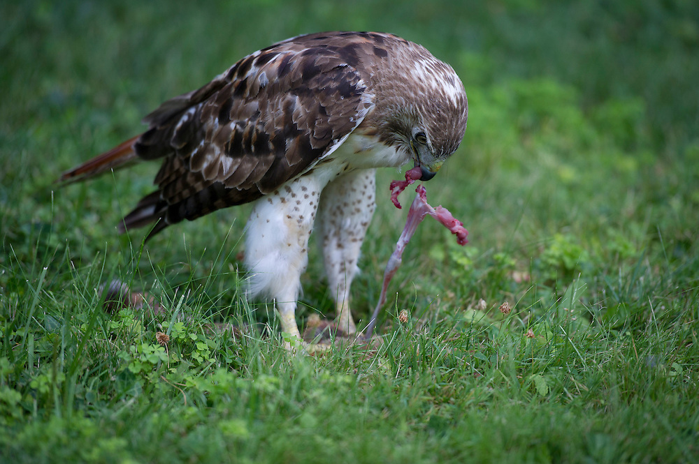 Falcon with freshly killed prey