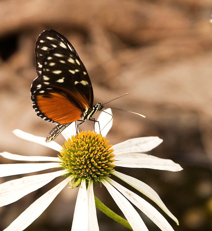 A butterfly sitting on a black-eyed Susan in Portland, Oregon.