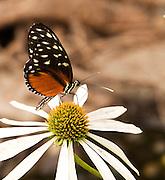 A butterfly sitting on a black-eyed Susan in Portland, Oregon.