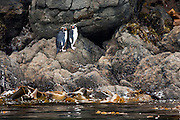 Fiordland Crested Penguin, Stewart Island, New Zealand