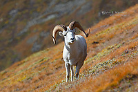 Dall Sheep ram in Kluane National Park, Yukon, Canada