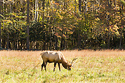 A bull elk grazes in the Cataloochee Valley of the Great Smoky Mountains National Park in Cataloochee, North Carolina.
