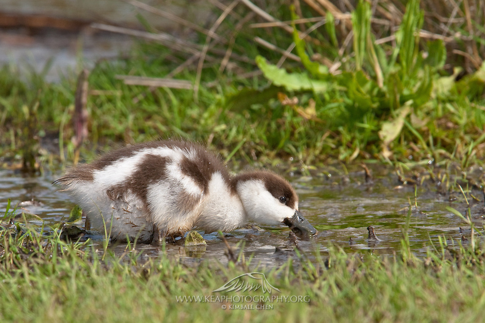 Paradise Shelduck, Travis Wetland, New Zealand