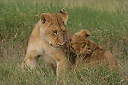 Lion cubs playing, Serengeti National Park, Tanzania