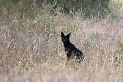 A rare black serval, Leptailurus serval, standing in the grass in Lualenyi game reserve. The genes of melanistic animals carry a mutation that creates more dark pigment than light pigment.