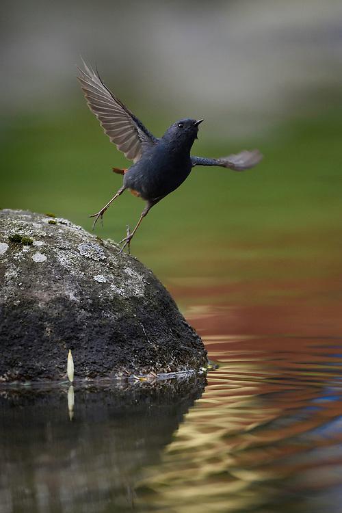 Plumbeous water redstart, Phoenicurus fuliginosus, Tangjiahe National Nature Reserve, Sichuan Province; China.