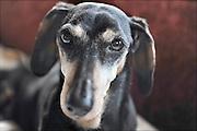 Nederland, Nijmegen 3-08-2014Oude hond, teckel. Foto: Flip Franssen/Hollandse Hoogte