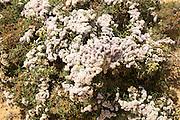 Limonium papillatum in flower in sand dunes of La Graciosa island, Lanzarote, Canary Islands, Spain
