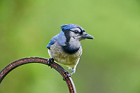 Blue Jay (Cyanocitta cristata) perched in a garden Cherry Hill, Nova Scotia, Canada