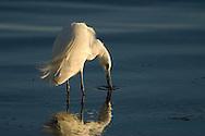 Little Egret fishing in Ria Formosa Natural Park - Algarve, Portugal