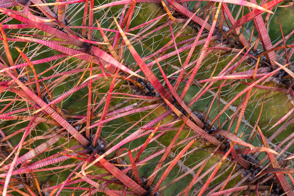Brightly colored needles of a cactus in the Valley of Fire State Park glow in the setting sun.