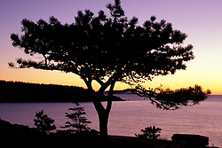Acadia National Park, ME..Pitch Pine, pinus rigida. Ocean drive at sunrise.