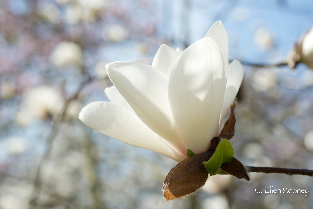 Magnolia 'Phelan Bright' at Kew Gardens, London, UK