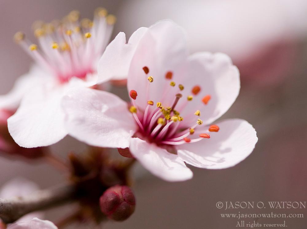 Early spring tree flower bloom in Virginia.