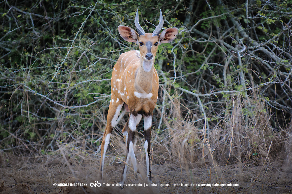 Golungo (Eng.: Bushbuck / Lat.: Tragelaphus scriptus) no Parque Nacional do Kissama. Província do Bengo, Angola
