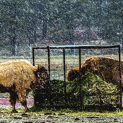 Wild Buffalo (bison), Bearizona - Williams, Arizona