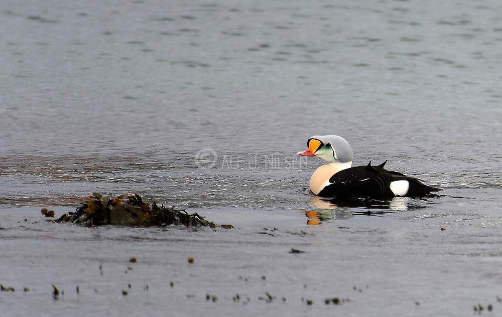 Male king eider (Somateria spectabilis) from Vardø, Finnmark, Norway.