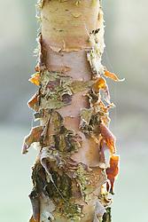 The bark of Betula nigra 'Heritage' in winter