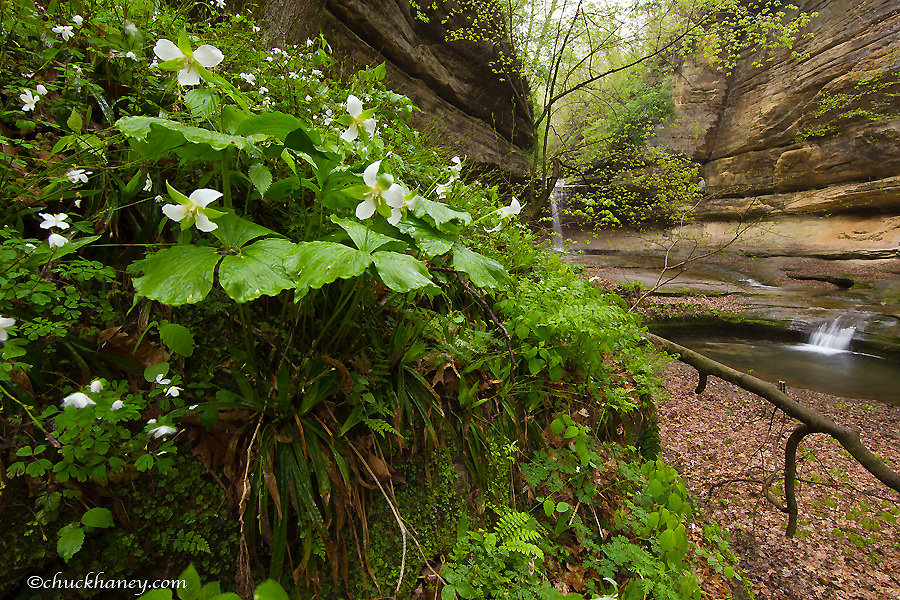 Drooping trillium wildflowers near the waterfalls in LaSalle Canyon in Starved Rock State Park, Illinois, USA