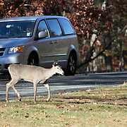 A White-tail Deer Doe, Odocoileus virginianus, running across a road in front of a car. Rifle Camp Park, Woodland Park, New Jersey, USA, North America.