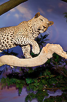 Endangered leopard taxidermy in museum
