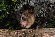 Aye-aye (Daubentonia madagascariensis)<br /> MADAGASCAR<br /> One of the most bizarre mammals/ primates / lemurs in the world. Their peculiar features include huge ears, bushy tail, long shaggy coast, rodent-like teeth and a skeletal 'probe-like' middle finger. Males and females are simular looking and have a body length of 440-530mm and weight of 2.3kg. They are nocturnal lemurs and largely solitary. During the day they hide in a 'nest' which they make from twigs and dead leaves. They are continually making new nest sites. They feed on ramy nuts (Canarium madagascariensis) nectar from Traveller's palm (Ravenala madagascariensis), some fungi and insect grubs. They have also been known to raid coconut, lichee and mango plantations. They use their rodent-like teeth to gnaw into hard nut shells, then insert the skeletal finger to extract the pulp. A large portion of their night is spent foraging and they are able to travel considerable distances to do that. <br /> HABITAT & DISTRIBUTION: Low and mid altitude rain forests, dry deciduous forests and some cultivated areas like lichee and coconut plantations. They are found widely in native forests along the entire east coast rain forest region, northern humid forests and west coast from Bemaraha north.<br /> THREATENED SPECIES: The population densities are not known but as in the case of most lemurs probably declining through habitat loss as their home-ranges are large. In some areas it is 'fady' (taboo) to hunt them while in others they are thought to bring bad luck and are killed by villages.  The meat is also sometimes eaten.<br /> ENDEMIC TO MADAGASCAR
