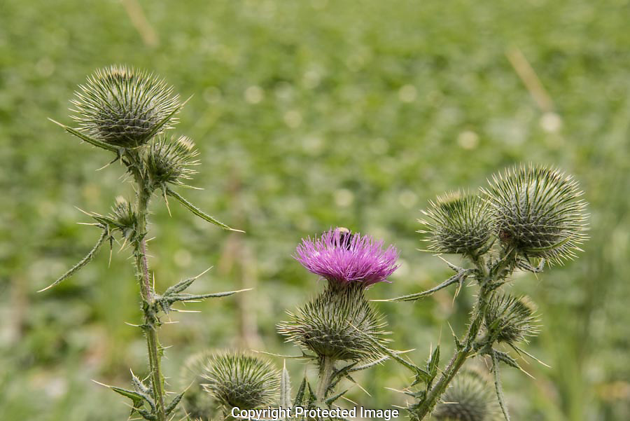 A bumblebee craws over the thistle flower looking for nectar and pollen and will help pollinate other thistle flowers by carrying pollen between plants.