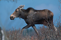 young Moose (Alces alces), Near Millarville, Alberta, Canada Photo: Peter Llewellyn