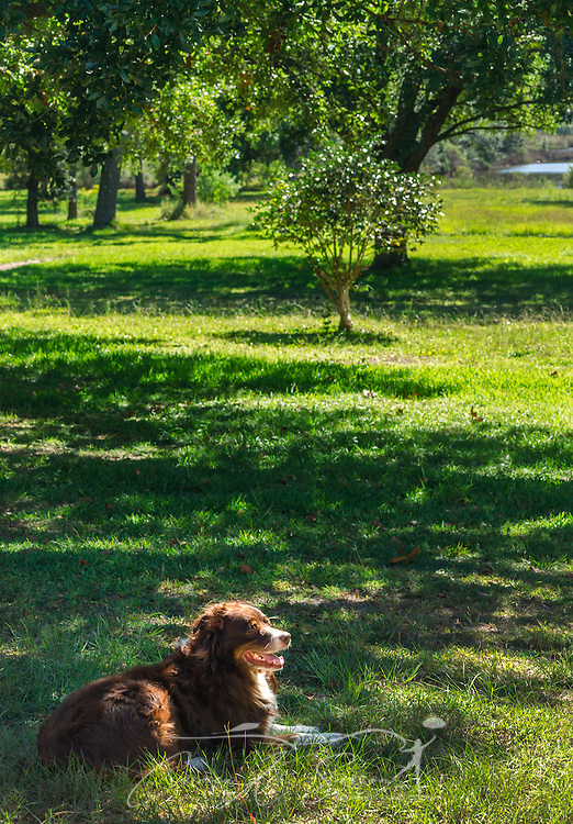 Cowboy, a six-year-old, red tri Australian Shepherd, lays in the grass, Oct. 4, 2014, in Coden, Alabama. (Photo by Carmen Sisson/Cloudybright)